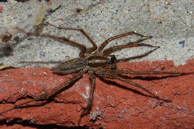 Australische Trichternetzspinne Gegengift