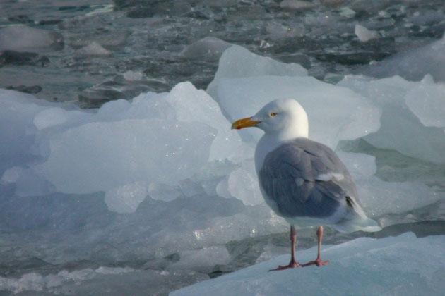 Eismoewen in den arktischen Regionen