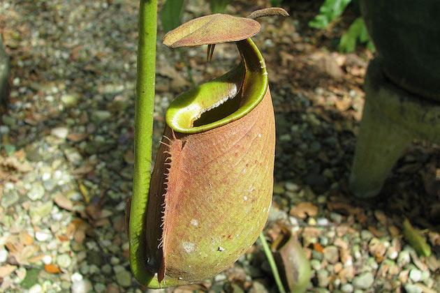 Fleischfressende-Pflanzen-Kannenpflanze Nepenthes