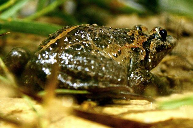 Hula-Frosch doch nicht ausgestorben