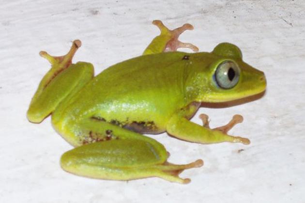 Seychellenfrosch hoert ohne Ohren