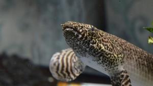 polypterus-eigentliche-floesselhechte-evolution-im-zeitraffer